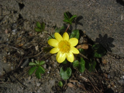 A beautiful buttercup on one of the steps to Morgannwg.