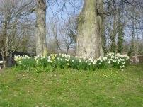 A set of daffodils near Morgannwg.